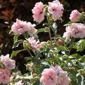 Buy Hibiscus SUGAR TIP - Buy Rose of Sharon Shrubs Online. Garden Crossings Online Garden Center offers a large selection of Rose of Sharon Plants. Shop our Online Shrub catalog today. Rose Of Sharon Bush, Online Plant Nursery, Bushes And Shrubs, Eucalyptus Bouquet, Buy Plants Online, Easy Care Plants, Planting Shrubs, Drought Tolerant Plants, Buy Roses