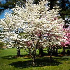 beautiful white and pink dogwood trees Pink Dogwood, Dogwood Trees, Trees And Shrubs, Flowering Trees, Trees To Plant, Kousa Dogwood, Beautiful Gardens, Beautiful Flowers, Beautiful Places