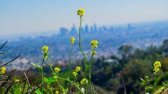 Spring in Los Angeles #spring #2017 #california #losangeles #la #usa #visit #travel #traveler #traveling #калифорния #лосанджелес #friendlylocalguides #flowers #panoramic #view #scenic