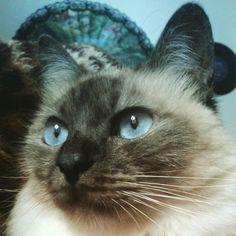 Olá! ♡ #Tonks #GatíssimosHor #Gatos #Siamês #OhosAzuis #Pet #Animals #Catlove #Siamese #Instacat #BlueEyes #Catlovers #Miau #Whiskers #Meow #Katze #Chat #Kat