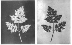 Fotografia de William Fox Talbot, 1842/43 - 1ºherbário fotográfico Uso de fotogramas - positivo e negativo.