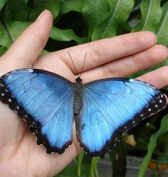 Butterfly's Wing Ears May Detect BirdsCredit: Kathleen Lucas.The blue morpho butterfly shows off its brightly colored wings when in flight. But at rest, with closed wings, the butterfly reveals a dull brown color that helps the animal blend in with its surroundings.
