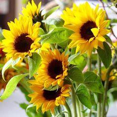 해바리기 Sunflower Garden, Sunflower Art, Sunflower Fields, Sunflower Arrangements, Sunflower Bouquets, Real Flowers, Yellow Flowers, Beautiful Flowers, Growing Sunflowers