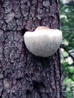 Seta sobre un pino, Otoño 2012. Bosque de Rugarcía. San Roque del Acebal, Llanes. Principado de Asturias. Spain. [ßy Valentín Enrique].