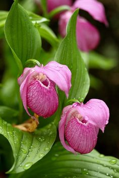 Wild orchid-Lady's slipper by LEE INHWAN on 500px