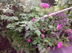 My sweet little thornless climbing rose