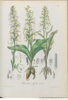 Flore illustrée de Nice et des Alpes-Maritimes : iconographie des orchidées / par J.-B. Barla,...   1868