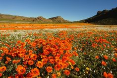 The incredible colours of Namaqualand's wild flower season - South Africa