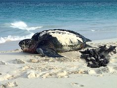 Aruba has four species of endangered sea turtles returning to its beaches each year to nest between March and October: the leatherback, the loggerhead, the green, and the hawksbill. And they all need human help. Endangered Sea Turtles, Olive Ridley, Turtle Love, Wale, Wild Creatures, People Around The World, Under The Sea, My Best Friend, Repeat
