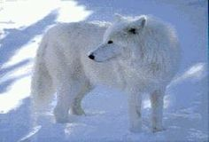 Animal Wildlife - All About Endangered Animals, Animal Facts, Wildlife Animals, Funny Animal Pictures and Videos. Arctic Wolf, Arctic Animals, Funny Animal Pictures, Funny Animals, All About Wolves, Wolf Watch, Husky, Wolf Photos, Wolf Love