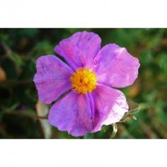 Cistus incanus ssp. tauricus - Taurische Zistrose (Saatgut)