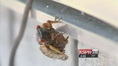 The 17 year cicada about to emerge in Missouri