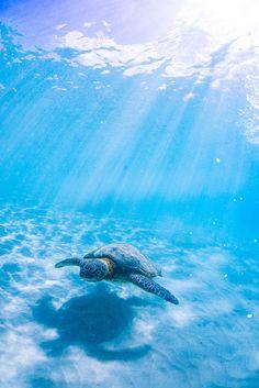 Photography of Underwater sea snorkeling with ocean blue scenery. Baby Sea Turtles, Ocean Wallpaper, Sea Turtle Wallpaper, Animal Wallpaper, Ocean Creatures, Sea And Ocean, Ocean Life, Marine Life, Belle Photo