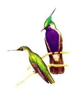Beija-flor-de-topete-O beija-flor é um campeão de voo! Voa até 100km/h. Conseguem vibrar as asas entre 50 e 80 vezes por segundo. Podem ficar parados no ar, podem também voar para trás. Voar para frente, ...para cima e para baixo então?!!! É fácil!
