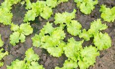 Cum se seamănă salata — 3 metode verificate pentru diferite situații! - Sfaturi pentru casă și grădină Landscape Architecture, Landscape Design, Landscaping Supplies, Garden Edging, Small Farm, Garden Seeds, Farm Gardens, Landscape Lighting, Lawn Care