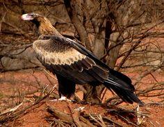 Wedge-tailed Australian Eagle.