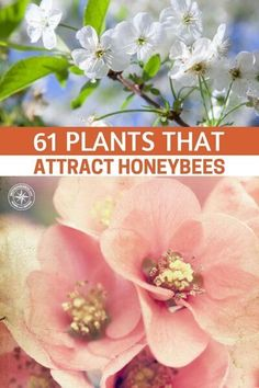 61 Plants That Attract Honeybees - This article will give you a quality resource for the 61 plants that attract honey bees. If bees are gathering pollen they are enjoying themselves and more than likely helping upkeep a healthy hive. That is what we are looking to accomplish. #garden #gardening #gardeningtips #homestead #homesteading