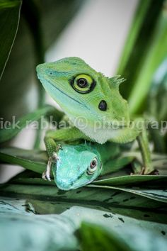 Green Lizards Photo Fine Art Photography Animal Photography San Diego Zoo Animal Lover Kids Room Wall Art Nature Lizard Photography Funny