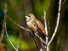 Allen's Hummingbird Female: Immature similar to adult female, but has less spotting on throat and less rufous on flanks; male more rusty in the base of the tail.