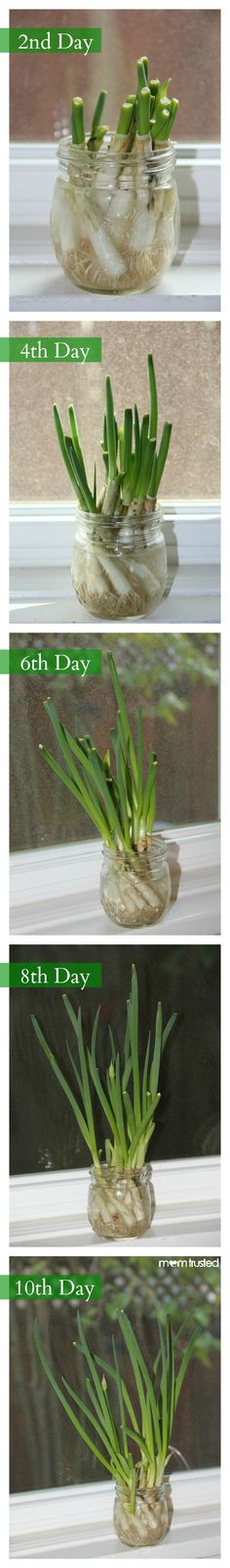 Grow green onions in only 10 days! Great gardening project for kids. I'll never buy green onions again! Green Onions Growing, Growing Veggies, Growing Plants, Indoor Garden, Garden Plants, Outdoor Gardens, Container Gardening, Gardening Tips, Comment Planter