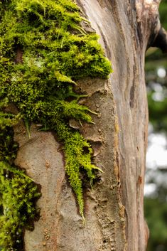 Apple tree with moss growing