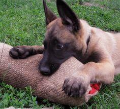 Malinois puppy bite