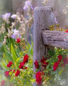 A weathered post and rail fence with pastel  lavender iris and a rambling red rose. This is so soft and pretty.