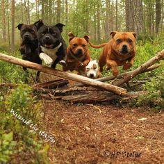 Uplifting So You Want A American Pit Bull Terrier Ideas. Fabulous So You Want A American Pit Bull Terrier Ideas. Pitbull Terrier, Staff Bull Terrier, Terrier Dog Breeds, Bull Terriers, Dogs Pitbull, American Bobtail, Clumber Spaniel, Beautiful Dogs, Animals Beautiful