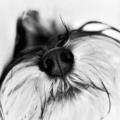 """Click visit site and Check out Best """"Miniature Schnauzer"""" T-shirts. This website is outstanding.  Tip: You can search """"your name"""" or """"your favorite shirts"""" at search bar on the top."""