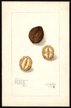 Artist:     Newton, Amanda Almira, ca. 1860-1943  Scientific name:     Juglans nigra  Common name:     black walnut  Geographic origin:     White Pine, Jefferson County, Tennessee, United States  Physical description:     1 art original : col. ; 17 x 25 cm.  Specimen:     40850  Year:     1908  Notes on original:     J.C. Clark  Date created:     1908-05-01