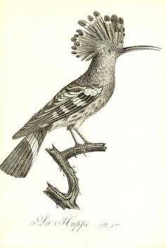 Audebert, J. B. Histoire naturelle et générale des colibris, oiseaux-mouches, jacamars et promerops, 1759-1800;