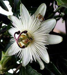 Passion Flower —