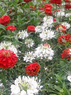 Red zinnias & white cleome at the 2014 Iowa State Fair. Iowa State Fair, Red And White Flowers, Blue Garden, Garden Theme, Zinnias, Plants, Canada, Beautiful, Viajes