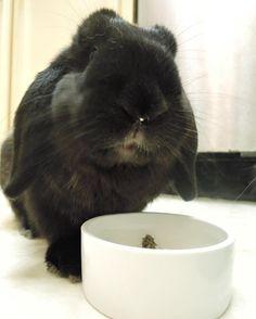 Bear with the evidence on his nose!  #rabbit #rabbitofig #bunny #bunnyofig #instabunny #instarabbit #hollandlop #housebunny #houserabbit #dailyfluff #dailybunny #petagram  #petsofinstagram #bunniesofinstagram #weeklyfluff #animals #animalsofinstagram  #bunnylovers #fluffy #bunniesworldwide by momoandbear