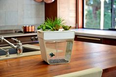The AquaFarm is a fish tank and food garden for the countertop