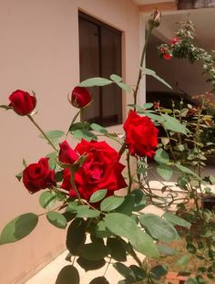 Rose Flower Pictures, Love Rose Flower, Flower Images, Red Flowers, Red Roses, Tumblr Photography, Girl Photography Poses, Nature Photography, Witchy Wallpaper