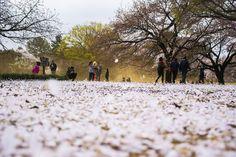 Sakura Petals covering the grounds of Shinjuku Gyoen, Japan.