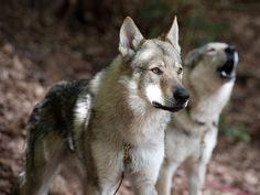 Czechoslovakian+Wolf+Dogs+/+Tschechoslowakischer+Wolfshund
