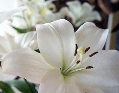 White Lily Flower by Rachel Munoz Striggow