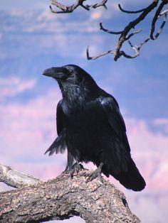 Raven     --- Beautiful