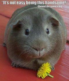 handsome Guinea Pig