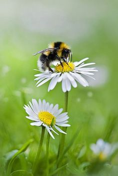 Nature on display - bee + daisy Simply Beautiful, Beautiful World, Beautiful Flowers, Foto Macro, Flora Und Fauna, I Love Bees, Bee Art, Bees Knees, Wild Flowers