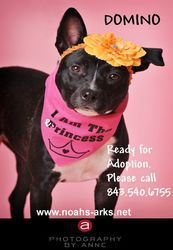 DOMINO is an adoptable Terrier Dog in Hilton Head Island, SC. DOMINO is a 1 year old Terrier/Retriever Mix (25 pound) who was dragged behind a truck and then left to die. She is now all healthy and ha...