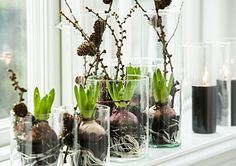 Hyacinter i vindueskarm.