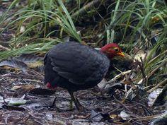 Crimson-headed Partridge Haematortyx sanguiniceps - Google Search
