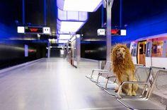 Il s'appelle désormais Tschikko Leopold von Werner et porte fièrement sa crinière de lion faite sur mesure…