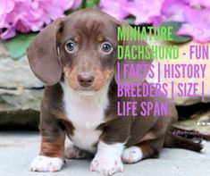 Miniature Dachshund Fun Facts History Breeders Size Life