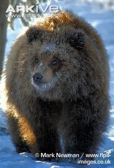 Juvenile brown bear, Alaskan population