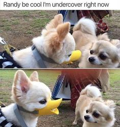 Randy be cool I'm undercover right now Funny Animal Jokes, Funny Dog Memes, Funny Animal Pictures, Cute Funny Animals, Cat Memes, Cute Baby Animals, Funny Cute, Funny Dogs, Animal Pics