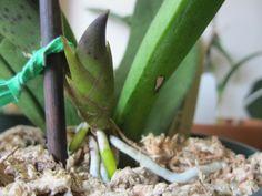 pflege orchidee schöne zimmerpflanzen orchideen pflegen